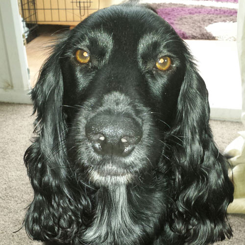 Ziggy the field spaniel
