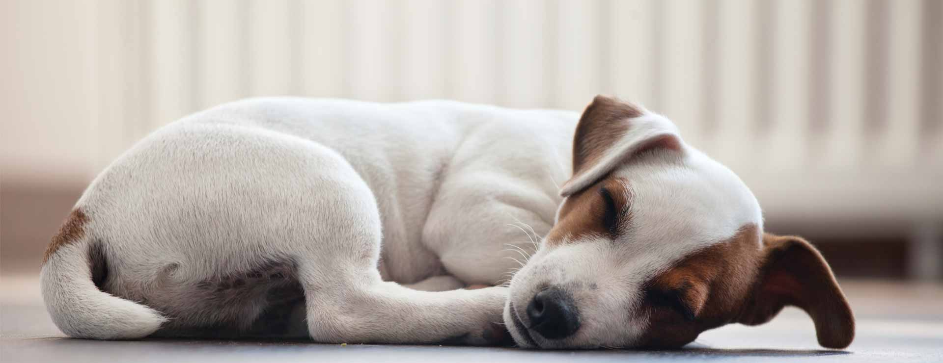 Pet Animal Dog Sleeping Details